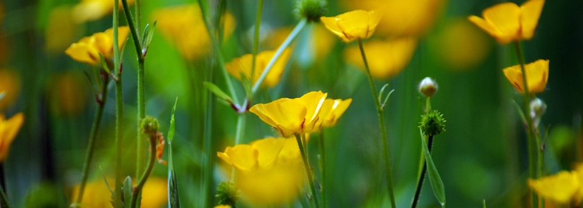 Meadow Buttercups - Zsuzsanna Bird